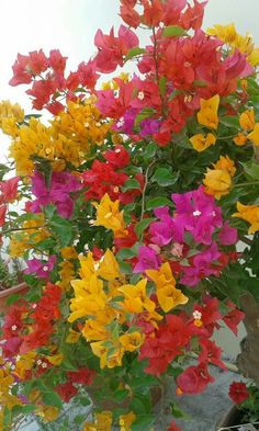Pretty Flowers, Wild Flowers, Bougainvillea Trellis, Flower Words, Pretty Landscapes, Belleza Natural, Balcony Garden, Dream Garden, Trees To Plant
