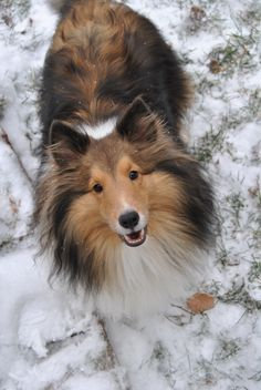 I used to have a collie similar to this dog...such a good beautiful dog