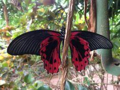 The Crimson Mormon(Papilio rumanzovia) also known as the Scarlet Mormon butterfly originates in Australasia / Indomalaya ecozone (Australia). The wingspan is about 12.0 – 14.0 cm. The Scarlet Mormon...