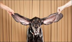 """""""World Records"""" ~ A Black and Tan Coonhound named *Harbor* has the longest ears of any living dog, with measurements of inches for the left ear and inches for the right. [Photo by ~Ryan Schude~ Guinness World Records via AP] Massive Dogs, Big Dogs, I Love Dogs, Cute Dogs, Funny Dogs, Funny Boxer, Funny Puppies, Funny Animal Photos, Funny Animals"""