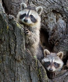 2 young raccoons looking out of their den in a hollow tree. 2 young raccoons looking out of their den in a hollow tree. Nature Animals, Animals And Pets, Baby Animals, Cute Animals, Baby Racoon, Cute Raccoon, Rocket Raccoon, Beautiful Creatures, Animals Beautiful