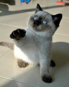 Seal point british shorthair cat http://www.jardindecristal.fr/mes-femelles/