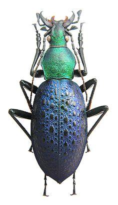 Coptolabrus smaragdinus furumiellus