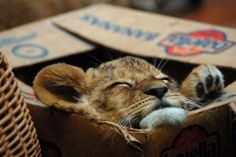 I want a baby lion in the mail. It is almost like second hand lions all over again.