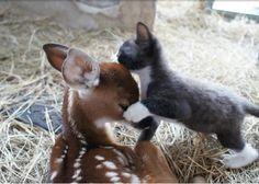 Cat love deer. kitten loves fawn.