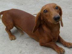 i wants to play #doxie  #cute #dachshund