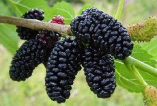 Dwarf Everbearing Mulberry Plant - Morus nigra - Sweet Fruit - Pot >>> Learn more by visiting the image link. Mulberry Plant, Mulberry Fruit, Mulberry Bush, Mulberry Tree, Raspberry Plants, Blackberry Plants, Fruit Garden, Fruits And Vegetables, Horticulture