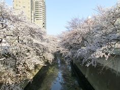 Cherry blossoms of Omokagebashi neighborhood in Tokyo.