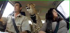 Yakira, rescued cheetah cub with permanent shoulder injuries, rides to the vet in style with her eyes full of wonder.