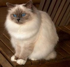 This is Grand Champion Darina, a beautiful Blue Point Birman owned by Julie Gaines of Abirwood Birmans.  I am hoping to get a kitten from Darina by the end of the summer, 2012!
