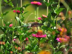 The hummingbird fan dance