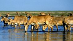120,000 endangered saiga antelopes die mysteriously in Kazakhstan Saiga antelopes
