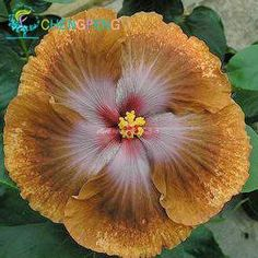 200pcs Hibiscus seeds 24kinds HIBISCUS ROSA-SINENSIS Flower seeds hibiscus tree seeds for flower potted plants