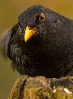 Blackbird Turdus merula by Simon Davey Birds 2, Wild Birds, Dawn And Dusk, Animal Magic, Owl Bird, Bird Watching, Bird Feathers, Beautiful Birds, Bird Houses
