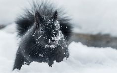 A black squirrel roots through fresh snow looking for seeds and bread crumbs in Toronto, Canada