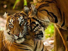 Tiger love : )
