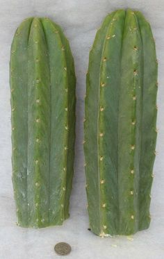 2 San Pedro TOP CUTS Trichocereus Pachanoi Cactus cuttings approx 12 inches in length san pedros. $32.00, via Etsy.