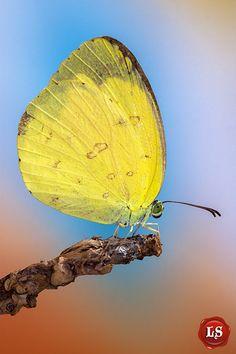#pestcontrol Montreal #butterfly photo: Pretty Golden Butterfly