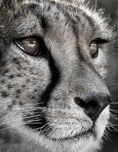 Cheetah eyes by Vladlen Tsiskarishvili Big Cats, Crazy Cats, Beautiful Cats, Animals Beautiful, Cheetah Photos, Animal Close Up, Animals And Pets, Cute Animals, Black And White Lion