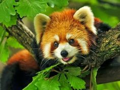 Endangered Red Panda- only 10,000 remaining