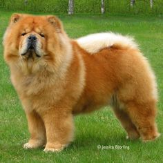 Chow Chow - Ch Pei Fang Red Hot Simson  http://www.chowchowringen.com/arets07.htm