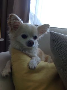 Chillin' on a Saturday morning - Gaby the Chihuahua.