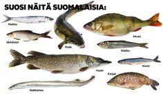 Nyt saa syödä suomalaista kirjolohta: Katso tästä hyvän omantunnon kalalista…