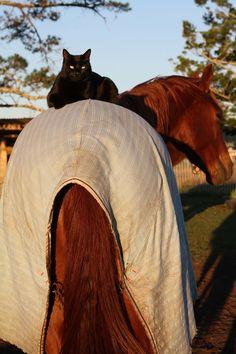 un chat monte a cheval