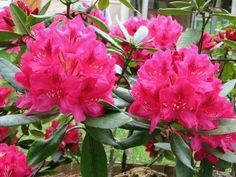 L'azalée, dont il existe de nombreux hybrides, est une plante fleurie de la même famille que les rhododendrons. Voici quelques conseils pratiques pour entretenir cette plante au jardin ou en appartement., par Audrey