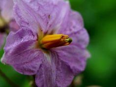 flor de batata roxa