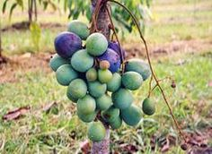 Davidson's Plum or Aussie Plum or Ooray is a dark purple plum-sized fruit which is very sour but adds a wonderful tang to stewed apples or can even be stewed or bottled on its own