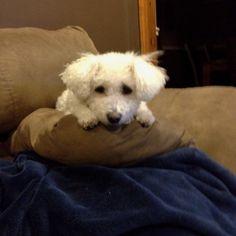 My bichon! Tucker!