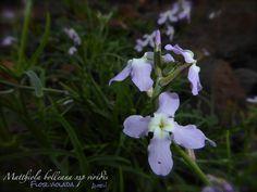 Flor violada, alhelí (Matthiola bolleana). Flora silvestre de la Reserva de la Biosfera de Lanzarote.