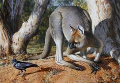 Procoptodon, also known as the Giant Short-faced Kangaroo. It lived in Australia and went extinct with other Australian megafauna after humans reached Australia 50,000 years ago.   Procoptodon, Peter Trusler