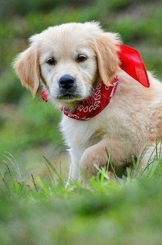 Cute Dogs And Puppies, I Love Dogs, Pet Dogs, Dog Cat, Doggies, Labrador Puppies, Corgi Puppies, Dogs Golden Retriever, Retriever Puppy