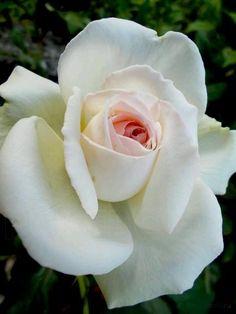hybrid tea roses at walmart Exotic Flowers, Love Flowers, My Flower, Flower Power, White Roses, Pink Roses, White Flowers, Pretty Roses, Beautiful Roses