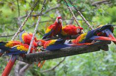 birds eating fruit - Costa Rica