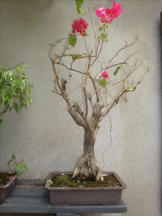 Meu 1º bonsai com 24 anos. (Foi desfolhado hoje). 20.02.2017