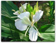 Gengibre-branco, Borboleta, Jasmim-borboleta, Lágrima-de-moça, Lágrima-de-vênus, Lírio-branco, Lírio-do-brejo– Hedychium coronarium  http://sergiozeiger.tumblr.com/…/gengibre-branco-borboleta-…  Excelente planta palustre, o gengibre branco é muito vistoso. Sua folhagem é verde brilhante e muito ornamental. As flores são brancas, grande e muito perfumadas e se formam o ano todo.   Este gengibre é ideal para margens de lagos e espelhos de água e serve de abrigo para a fauna silvestre. Seu…