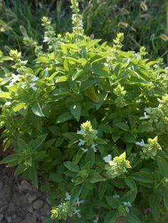 ALFÀBREGA DE FULLA PETITA – Ocimum mínimum – Albahaca de hoja pequeña –   Basilic – Basil