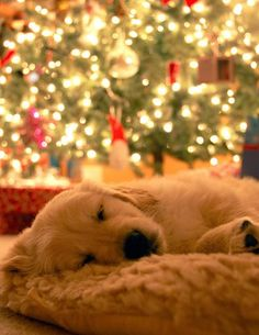 Golden retriever puppy sleeping by the Christmas tree while waiting on Santa. Chien Golden Retriver, I Love Dogs, Puppy Love, Puppy Pics, Puppy Pictures, Cute Puppies, Cute Dogs, Corgi Puppies, Baby Animals