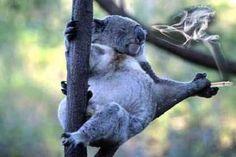 A koala was sitting in a tree smoking a joint when a lizard walks up ...