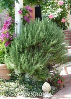 Tuscan Blue Rosemary - 3-5 ft tall, 2-4 ft wide. Fragrant foliage, full sun. (Small blue flowers spring to Summer)