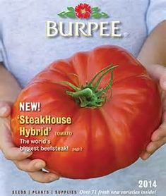 Tomato Pruning Burpee Seed Catalog with Tomato Dirt - Burpee Seed Catalog offers mail-order tomato seeds, plants, and gardening supplies. Burpee is a family-owned company that develops and promotes selective breeding and hybridization to pr Tomato Pruning, Tomato Seedlings, Tomato Seeds, Tomato Plants, Growing Tomatoes Indoors, Growing Tomatoes From Seed, Growing Tomatoes In Containers, Grow Tomatoes, Cherry Tomatoes