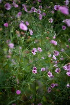 Althaea cannabina Chemistry Set, Seeds Online, Seed Catalogs, Cold Frame, Replant, Types Of Soil, Verbena, Compost, Indoor Plants