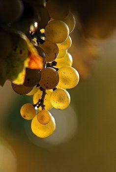 Sauvignon Blanc Grapes!