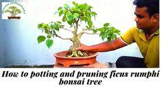 How to potting and pruning ficus rumphi bonsai tree - Modern Bonsai Pruning, Bonsai Ficus, Tree Pruning, Bonsai Art, Bonsai Garden, Buy Bonsai Tree, Bonsai Trees, How To Grow Bonsai, Juniper Tree