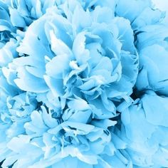 """perks-of-being-absolutelynothing: """" not my photo I'm just a sucker for flowers source """" Pastel Blue, Aqua Blue, Blue And White, Blue Aesthetic Pastel, Aesthetic Colors, Bleu Cobalt, Everything Is Blue, Cyan, Love Blue"""