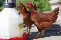 Cleaning water dishes is important after chickens being raised in the backyard complete any course of medication. That's because medication residues can remain...