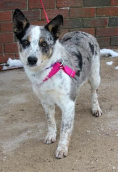 Meet Georgia, a Petfinder adoptable Australian Cattle Dog (Blue Heeler) Dog | Larchmont, NY | This girl is as sweet as she is pretty and she is very smart too. At about 10 months, she has a...